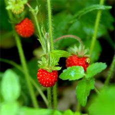 поиск съедобных растений, ягод и грибов